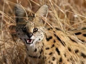 serval cat panoramio photo of serval cat