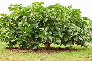 Morinda Citrifolia The Historical and Scientific Background of Noni Fruit Morinda