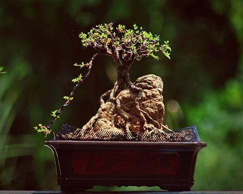 Best Images About Bonsai On Pinterest