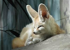 Animal You: Fennec Fox