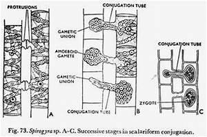 Classification of Zygnematales: 2 Families   Algae