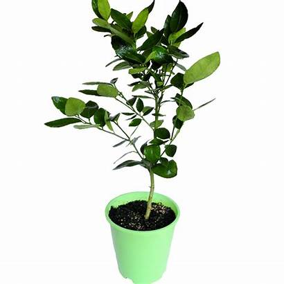 Seedless Lime Citrus Latifolia 5l