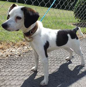 Beagle That Looks Like Snoopy | www.pixshark.com - Images ...