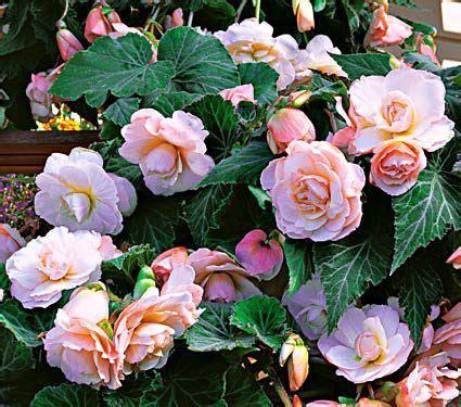 Garden Blush Begonia by Begonia Scentiment 174 Blush Shade Garden White Flower