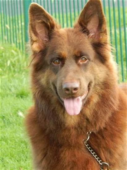 Shepherd German Dogs Indie Gurneys