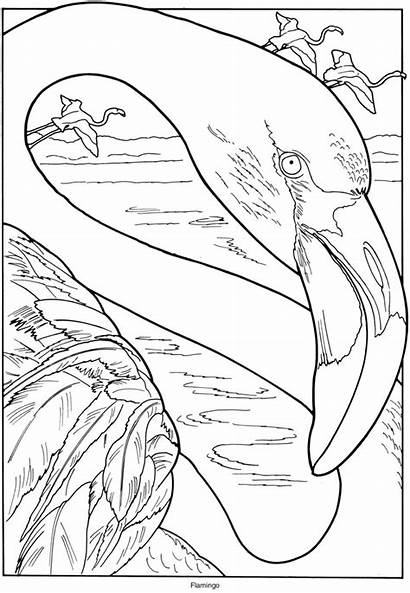 Flamingo Coloring Pages Exotic Birds Adult Bird