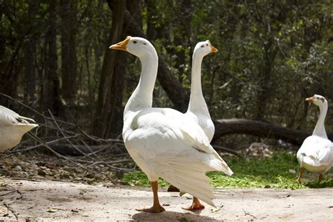 Let's understand the difference between swan vs. White Goose | White swan, Swan, Photography