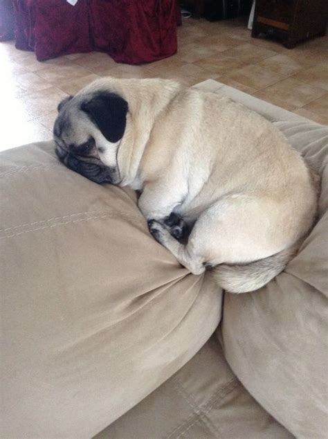 hilarious   prove pugs  sleep absolutely
