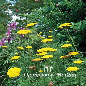 Graines D Agapanthe : graines de plantes fleurs vivaces ~ Melissatoandfro.com Idées de Décoration