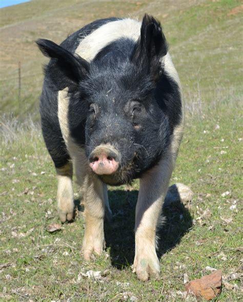 lucas  hampshire pig  hen house