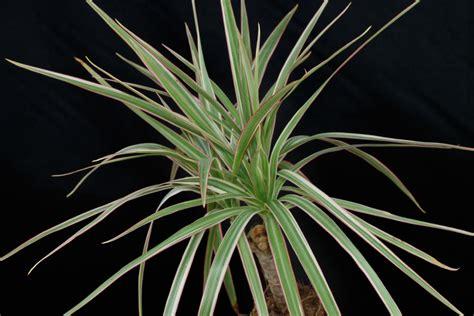 dracena marginata pflege drachenbaum dracaena marginata