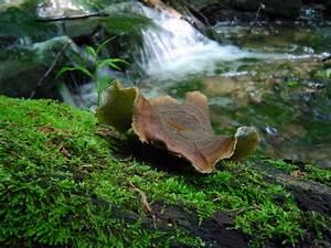 Polyporus badius at Indiana Mushrooms