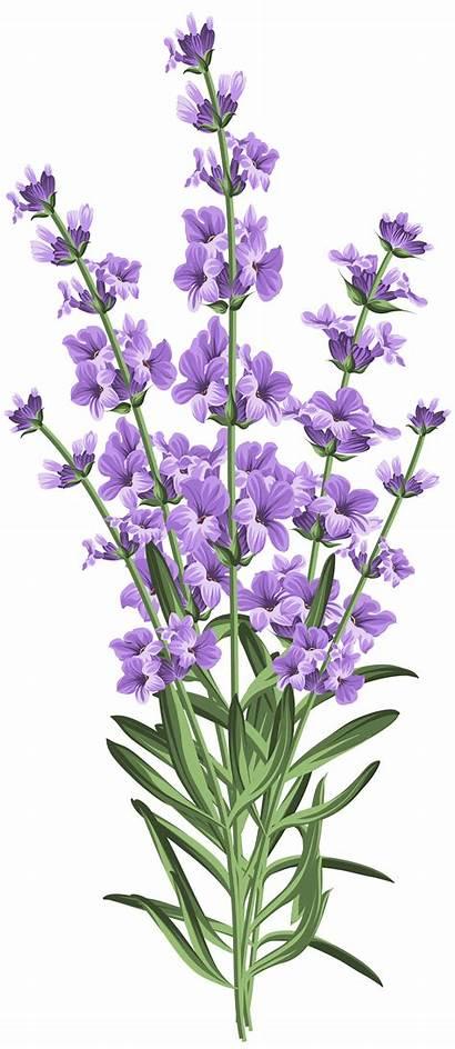 Lavender Flower Transparent Clipart Clip Flowers Previous