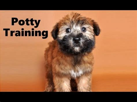 potty train  soft coated wheaten terrier puppy