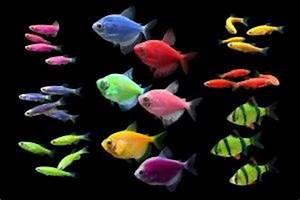 7 best images about Glofish on Pinterest