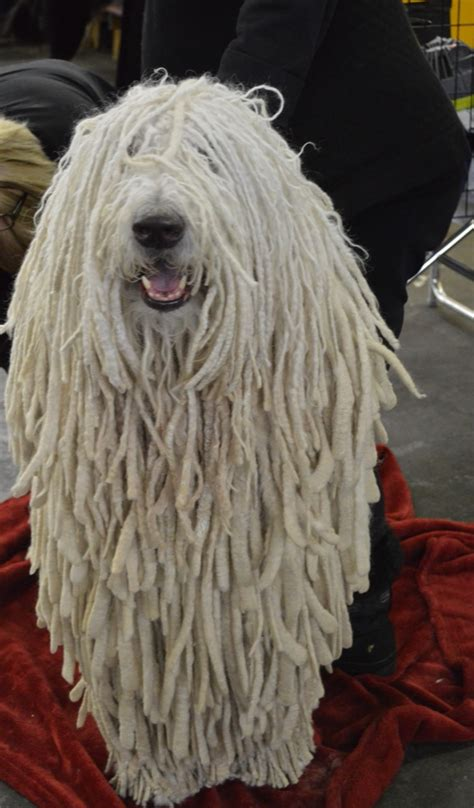 amazoncom komondor mop dog wallpaper hd wallpapers