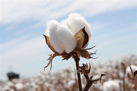 Sustainable Fibres What Is Cotton?  Trusted Clothes