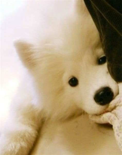 Fluffy Samoyed Puppy Pets Dogs Cute Dogs Puppies