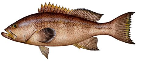 grouper bass sea yellowmouth fish weakfish brown atlantic croaker spotted sharkbait silver spot perch sand spots