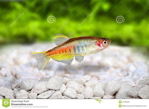 poissons d eau douce d aquarium de choprai de danio de danio de glowlight photo stock image