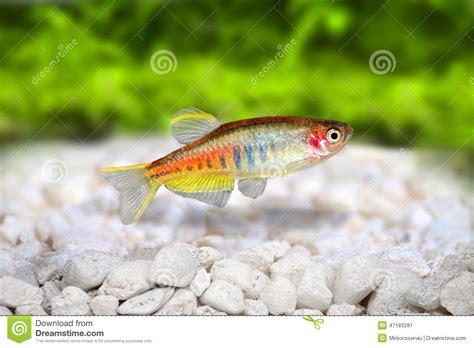 poisson aquarium d eau douce poissons d eau douce d aquarium de choprai de danio de danio de glowlight photo stock image