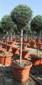 Zypresse Wird Braun : zypressen cupressus arizonica arizona zypresse ~ Lizthompson.info Haus und Dekorationen
