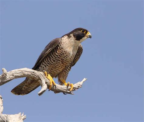 Peregrine Falcon Archives - Wild About Utah