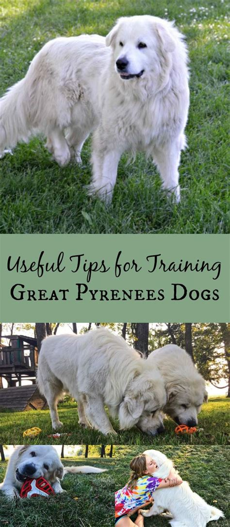 How To Train Great Pyrenees  5 Useful Tips Simplify