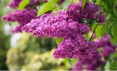 Purple Lilac Lilacs Wallpapers Resolution Wallpapersafari Anonymous