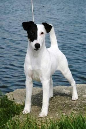 smooth fox terrier breed information history health