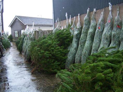 christmas trees for sale buy real christmas trees belfast