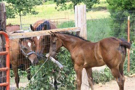 horses horse protein low starch carbohydrates young diets intake mineral vitamin supplement advantage manage diet ration grower specific needs hay