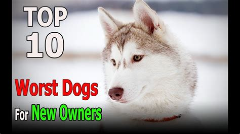best for owners top 10 worst breeds for new owners top 10 animals