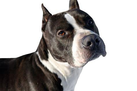 pit bulls      banned