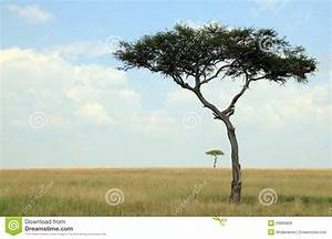 Acacia Trees On Savannah Royalty Free Stock Image