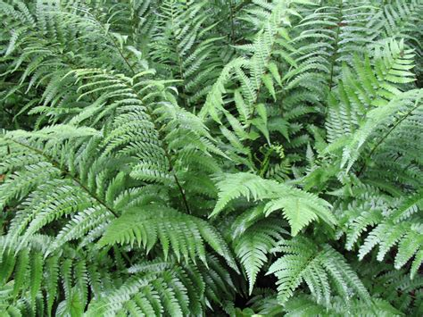 picture of ferns plant online plant guide dryopteris pycnoieroides japanese wood fern