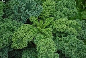 Growing Kale - Bonnie Plants