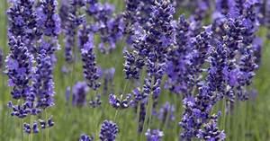 Pflege Von Lavendel : pflege lavendel ziergarten lavendel pflege urlaubsflair ~ Lizthompson.info Haus und Dekorationen