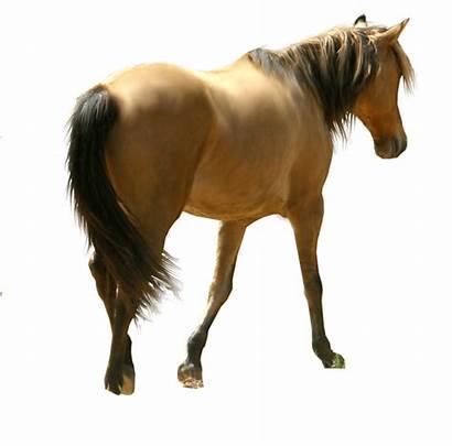 Horse Transparent Background Siluet Horses Dun Clipart