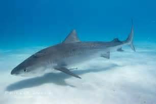 Galeocerdo Cuvier Tiger Shark