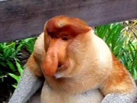 Proboscis Monkey YouTube
