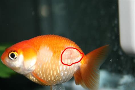 dropsy fancy goldfish wikia fandom powered  wikia