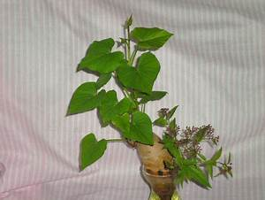 Patate Douce Plante : quatre patates points de cerise violette ~ Dode.kayakingforconservation.com Idées de Décoration