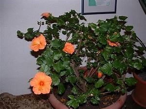 Hibiskus Pflege Zimmerpflanze : hibiskus berwintern helgas garten ~ A.2002-acura-tl-radio.info Haus und Dekorationen