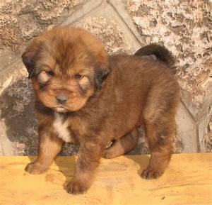 Red Tibetan Mastiff Puppy | Amir Ravid