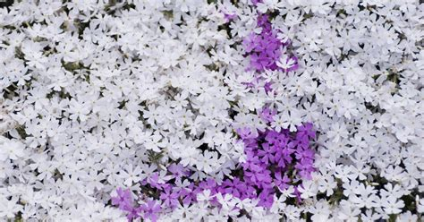 small perennials small perennial flowers ehow uk