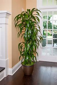 Lisa, Cane, Is, Available, Large, Size, Plant, Shipped, To, Your, Door