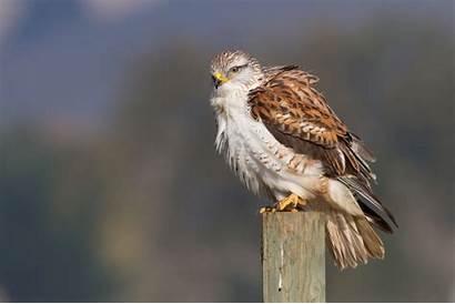 Hawk Wallpapers Desktop Background Animal Backgrounds Birds