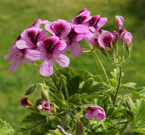 scented geraniums 301 moved permanently