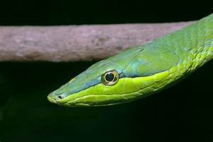 The gallery for --> Green Tree Viper